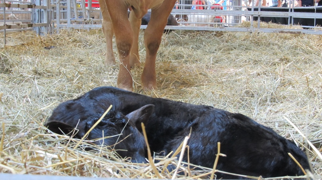 Newborn calf at the Iowa State Fair in Des Moines, Iowa