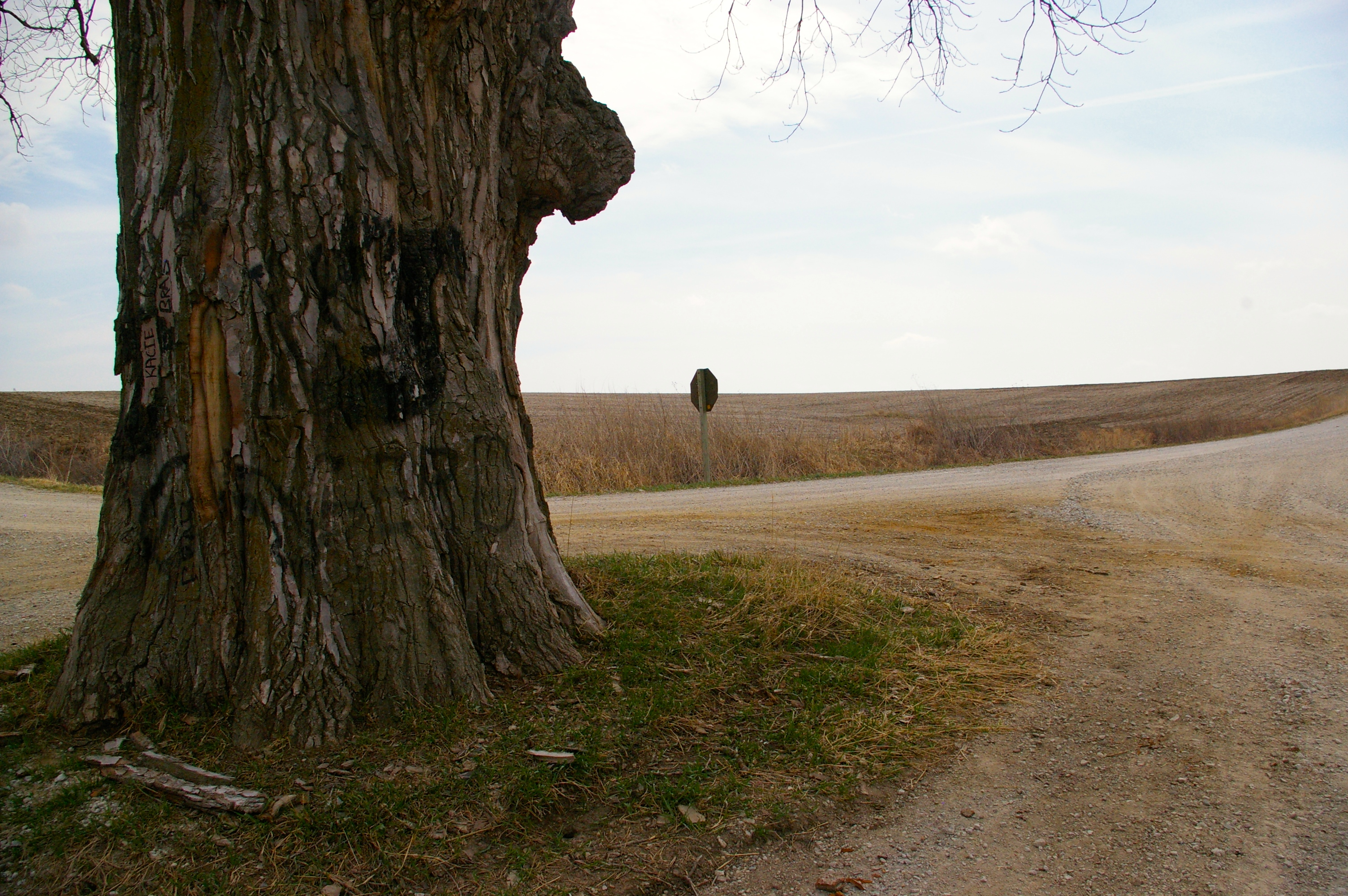 Tree In The Middle Of The Road Olio In Iowa
